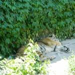 тигр в зоопарке Пекина